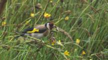 Goldfinch Feeding On Dandelion Seed Heads In The Rain Exits