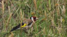Goldfinch Feeding On Seed Heads In Long Grass