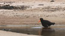 Variable Oystercatcher Bathing In Fresh Water Pool