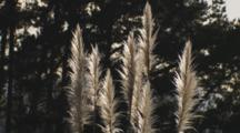 Pampas Grass Flower Heads Backlit