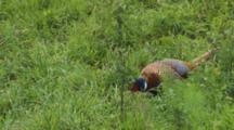 Male Ring-Necked Pheasant Walking In Long Grass