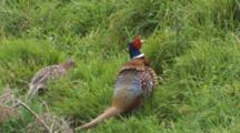 Male Ring-Necked Pheasant With Feeding Hen Grooms