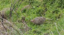 Ring-Necked Pheasant Hen Feeding In Pasture