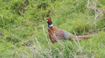 Male Ring-Necked Pheasant Fluffs Up Feather
