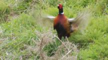 Male Ring-Necked Pheasant Calls And Displays