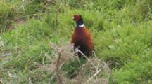 Male Ring-Necked Pheasant Feeding Exits