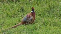 Male Ring-Necked Pheasant Fluffs Up Feathers Shakes Then Exits