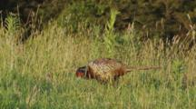Male Ring-Necked Pheasant Feeding In Long Grass Exits