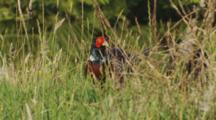 Male Ring-Necked Pheasant Feeding In Long Grass