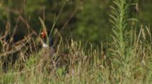 Male Ring-Necked Pheasant In Long Grass