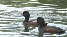 Black Teal New Zealand Scaup Lake Rotoiti