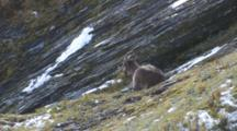 Himalayan Tahr Female Resting On Tussock And Rock Slope
