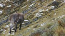 Himalayan Tahr Female Grooming And Feeding On Tussock And Rock Slope
