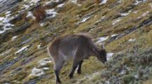 Himalayan Tahr Female Feeding On Tussock And Rock Slope Exits