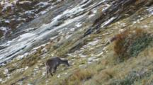 Himalayan Tahr Female Feeding On Tussock And Rock Slope