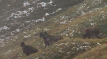Himalayan Tahr Female Herd Feeding And Watching In Cloud