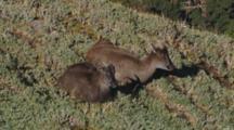 Himalayan Tahr Female And Juvenile Bull Resting Juvenile Grooms