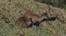 Himalayan Tahr Female And Juvenile Bull Resting Chewing Cud