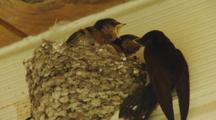 Welcome Swallow Feeding Insects To Chicks In Nest Under House Eave