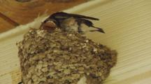 Welcome Swallow Chicks In Nest Under House Eave One Poops And Stretches