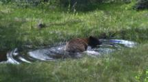Chocolate Black Bear Drinks Then Takes A Bath To Cool Off On A Hot Spring Day
