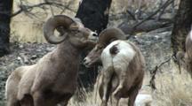 Bighorn Sheep Large Ram Dominating Young Ram By Kicking And Pushing