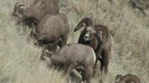Bighorn Sheep Mating Activity Dominant Ram Courting Others Feeding
