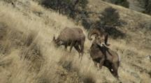 Bighorn Sheep Mating Activity Dominant Ram Courting Ewe Feeding