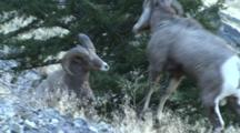 Bighorn Sheep Mating Activity Young Rams Head Butt On A Cold Morning