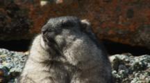 Brooks Range Marmot Relaxing In The Sun