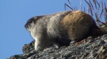 Brooks Range Marmot On Skyline