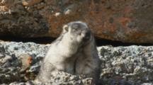 Brooks Range Marmot Closeup