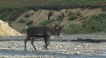 Caribou Bull With Large Velvet Antlers Crossing Stream
