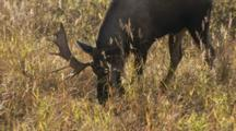 Moose Bull Digging Rut Pad Calf Walks Into Frame