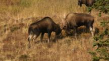 Moose Bulls Fighting