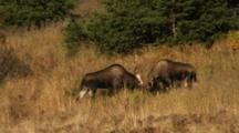 Moose Bulls Fighting One Flees
