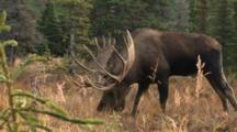 Moose Bull Large Antlers Testing Cow Urine For Estrus Flehmen Reaction