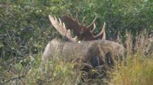 Moose Bull Large Antlers In Alders