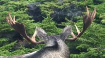 Moose Bull Large Antlers Bedded And Listening