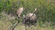 Moose Bull Large Antlers Watching And Listening In Alders