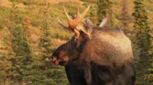 Moose Young Bull Watching And Listening Then Walks To Camera