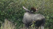 Moose Young Bull Watching And Listening In Alders