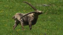 Alpine Ibex Male Scratching Hind Leg With Horn During Spring Moult
