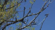 Barn Swallows In Tree Above Water Take Flight