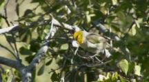 Verdin Building Nest Using Spiderweb