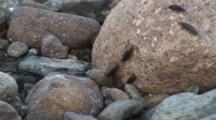 Ligia Isopods Rock Louse On Rocky Shore