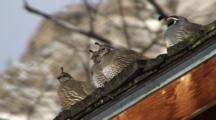 Californian Quail Male And Females Resting In The Sun