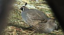 Californian Quail Resting In The Sun Male Grooming