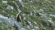 Chamois Looking Down Hill Then To Camera