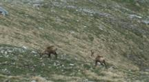 Chamois Feeding On Open Hill Side